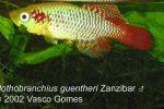 notho_guentheri_zanzibar_m_3