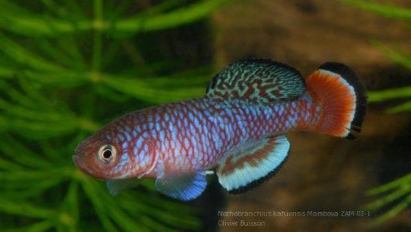 nothobranchius-kafuensis-mambova-zam-03-1