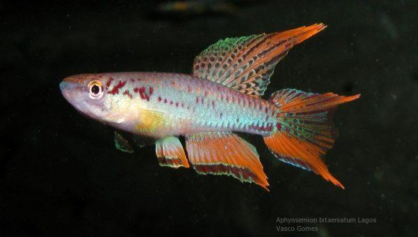 Aphyosemion bitaeniatum Lagos Red male