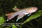 Aphyosemion lamberti BSWG 97-9 male