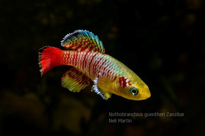 Nothobranchius guentheri