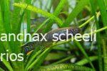 fundulopanchax-scheeli-macho-2