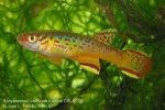 Aphyosemion calliurum Kumba CBL 01-20 male