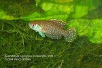 Austrolebias nigripinnis Ceibas MSL 91/2 male