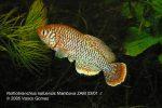 Nothobranchius kafuensis Mambova ZAM 03/01