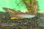 Aphyosemio ahli GEMLB 02-31 male