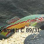 Fundulopanchax amieti C 89/31