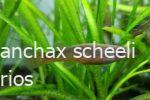 fundulopanchax-scheeli-fmea